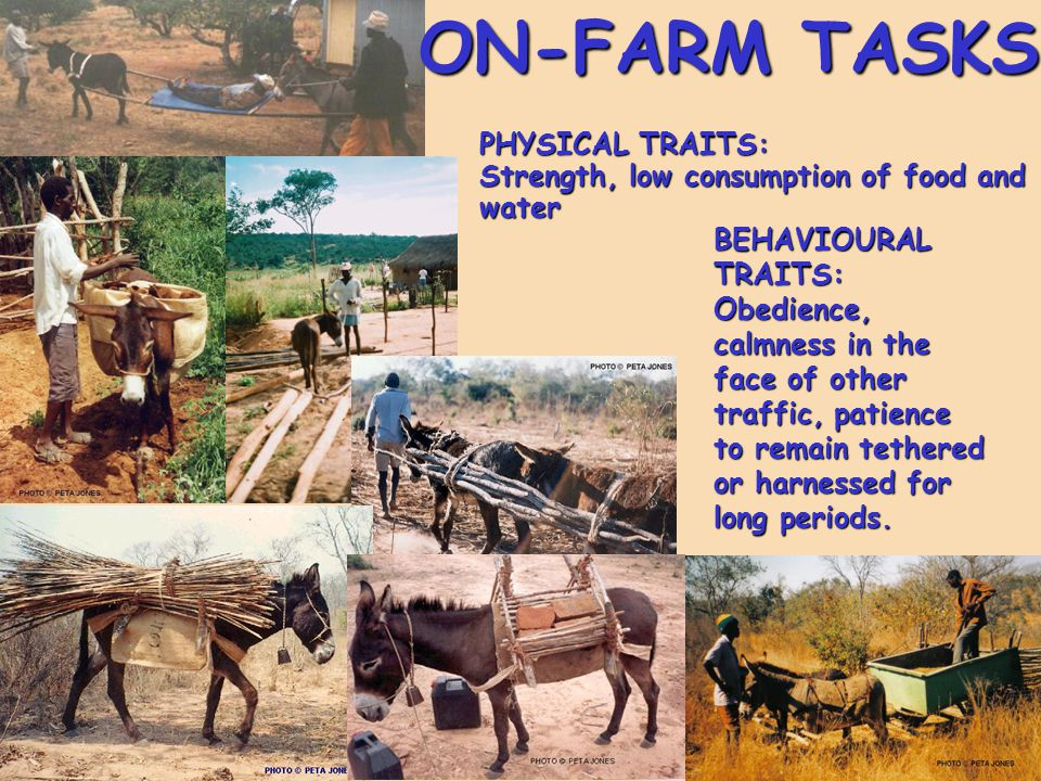 ON-FARM TASKS PHYSICAL TRAITS: Strength, low consumption of food and water BEHAVIOURAL TRAITS: Obedience, calmness in the face of other traffic, patie