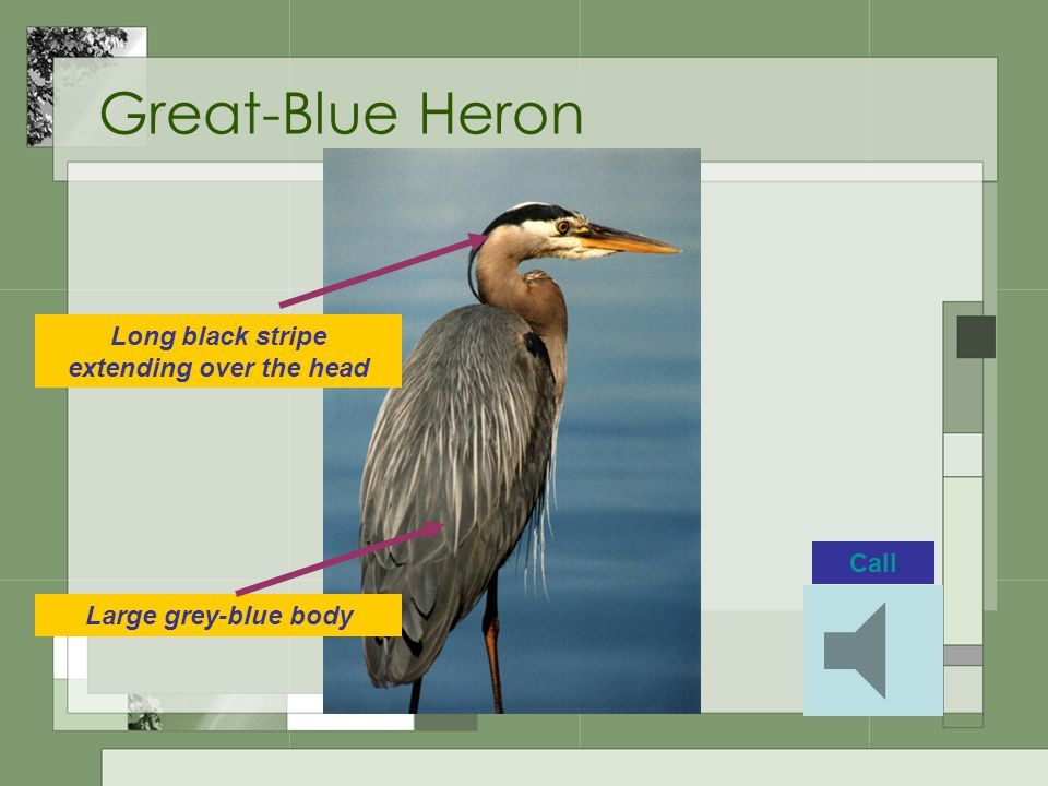Great-Blue Heron Long black stripe extending over the head Large grey-blue body Call