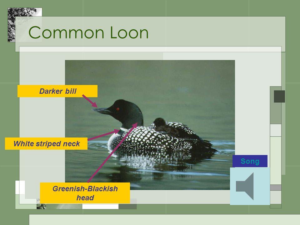 Common Loon White striped neck Greenish-Blackish head Darker bill Song