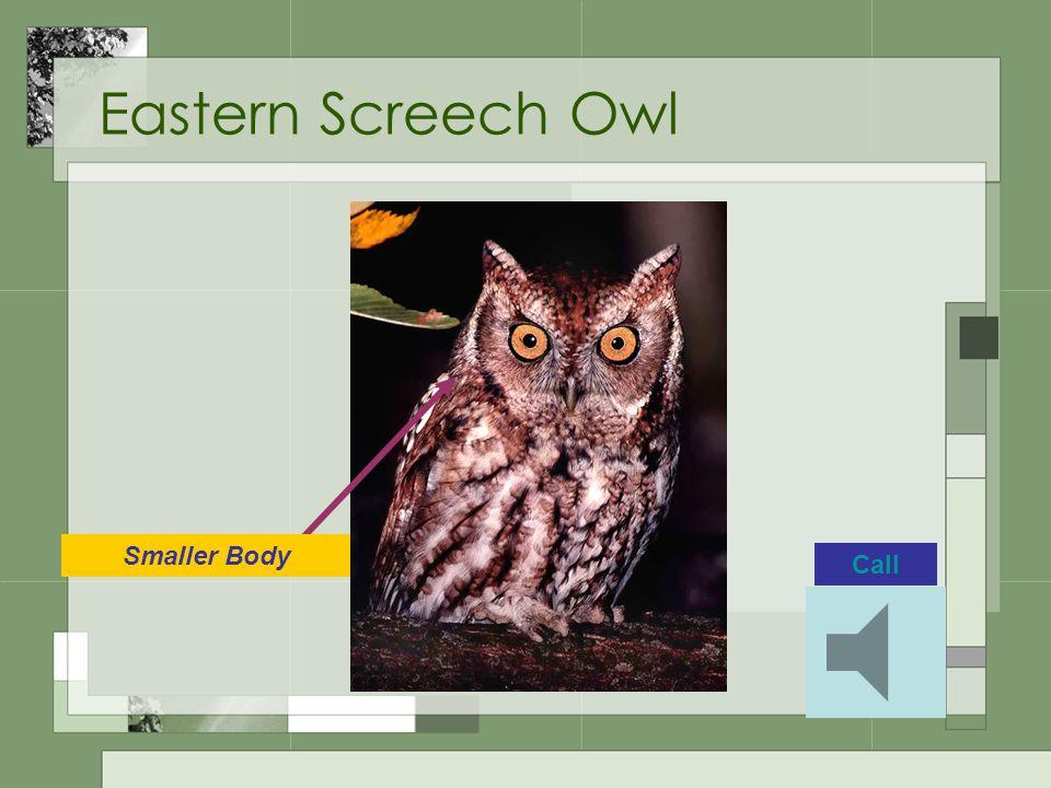 Eastern Screech Owl Call Smaller Body