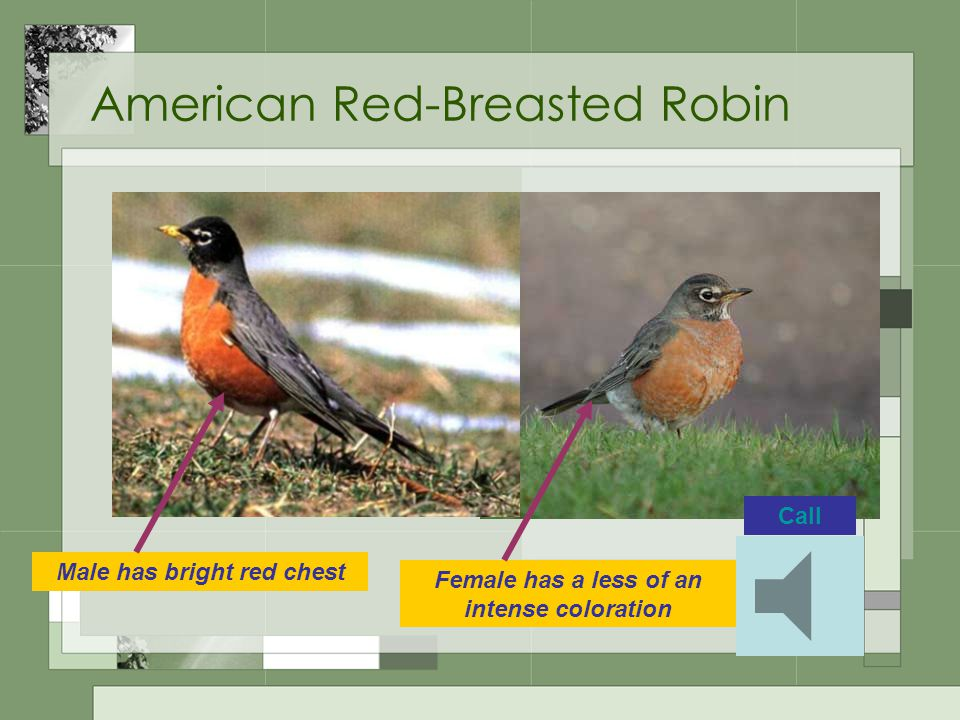 American Red-Breasted Robin Male has bright red chest Female has a less of an intense coloration Call
