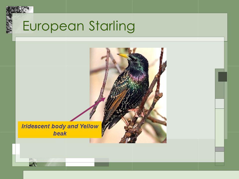 European Starling Iridescent body and Yellow beak