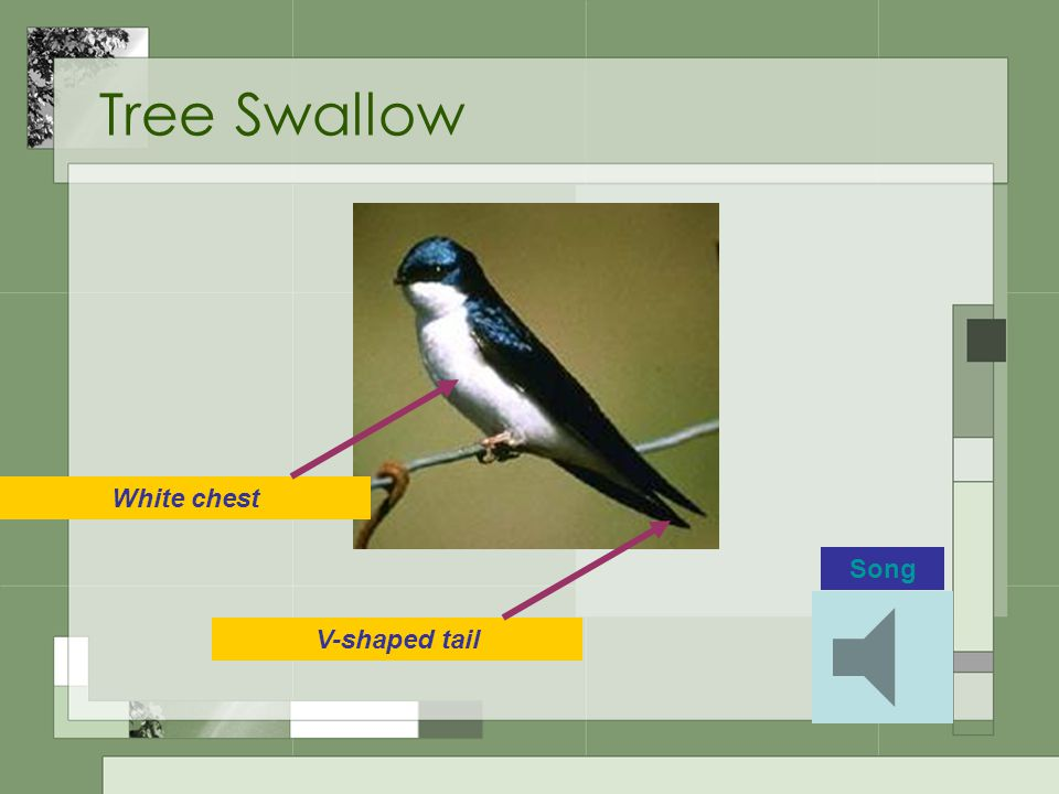 Tree Swallow White chest V-shaped tail Song