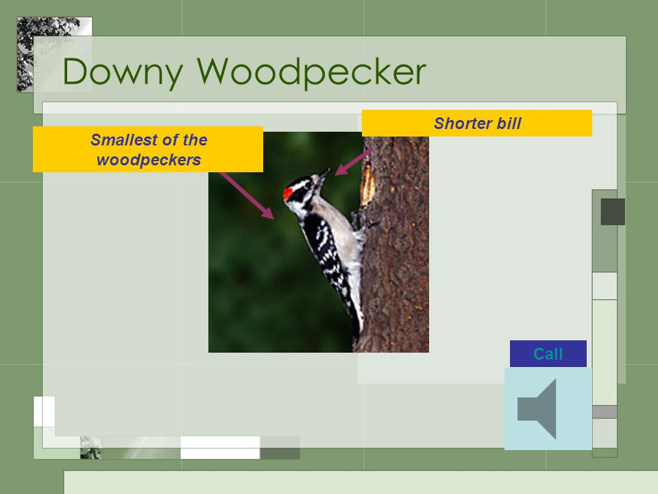 Downy Woodpecker Smallest of the woodpeckers Shorter bill Call
