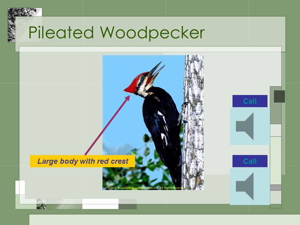 Pileated Woodpecker CallLarge body with red crest Call