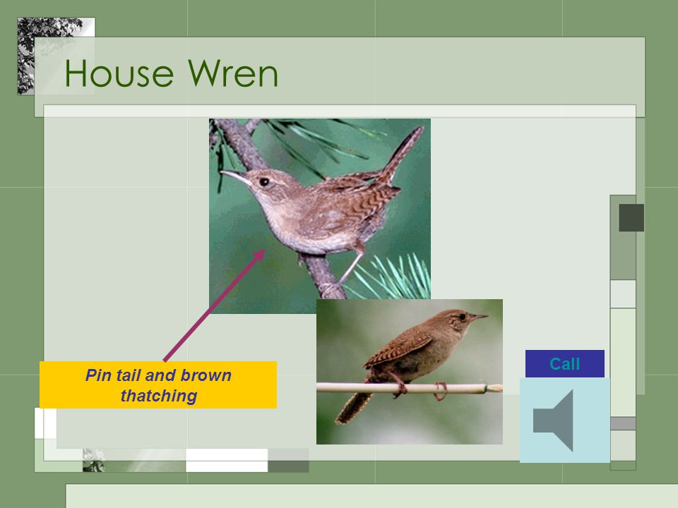 House Wren Call Pin tail and brown thatching