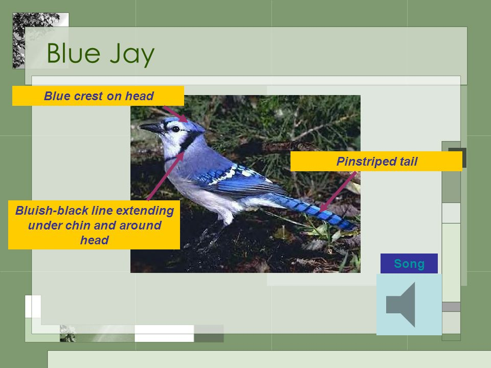Blue Jay Blue crest on head Bluish-black line extending under chin and around head Pinstriped tail Song
