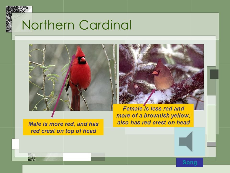 Northern Cardinal Male is more red, and has red crest on top of head Female is less red and more of a brownish yellow; also has red crest on head Song