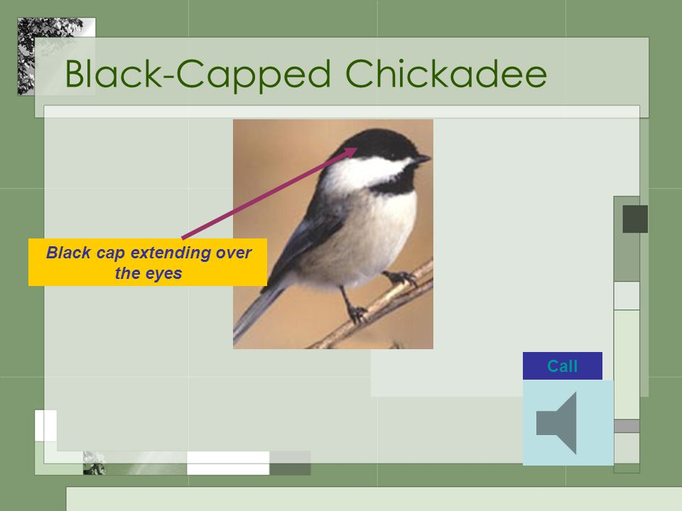Black-Capped Chickadee Black cap extending over the eyes Call
