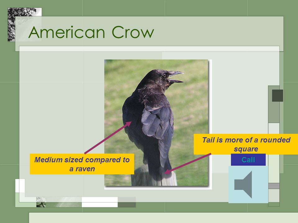 American Crow Medium sized compared to a raven Tail is more of a rounded square Call