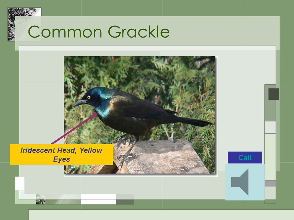 Common Grackle Call Iridescent Head, Yellow Eyes