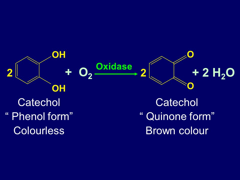 "+ O 2 Oxidase OH 2 O O 2 + 2 H 2 O Catechol "" Phenol form"" Colourless Catechol "" Quinone form"" Brown colour"
