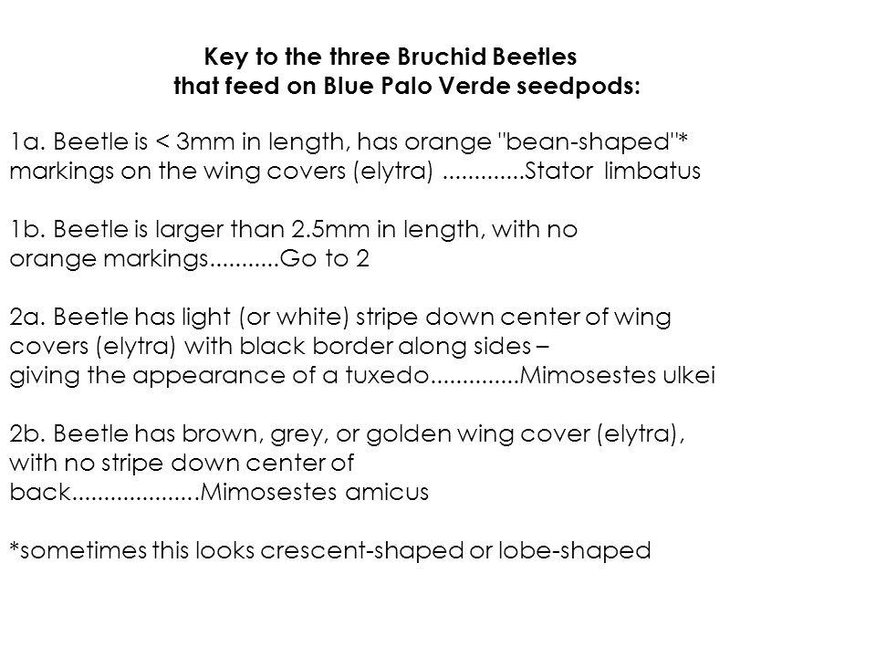 Key to the three Bruchid Beetles that feed on Blue Palo Verde seedpods: 1a. Beetle is < 3mm in length, has orange