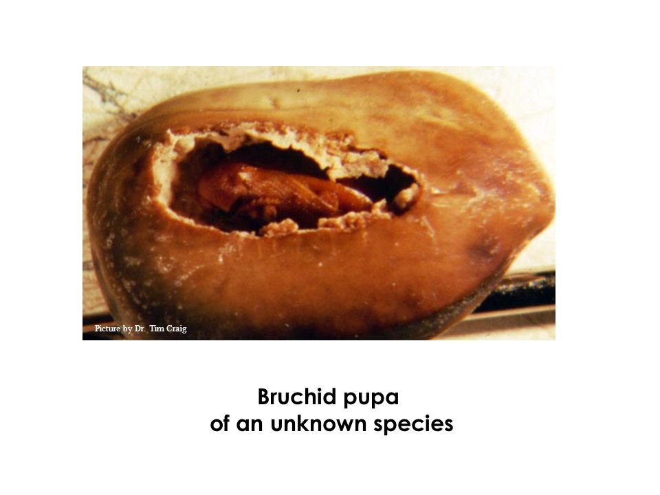 Bruchid pupa of an unknown species Picture by Dr. Tim Craig