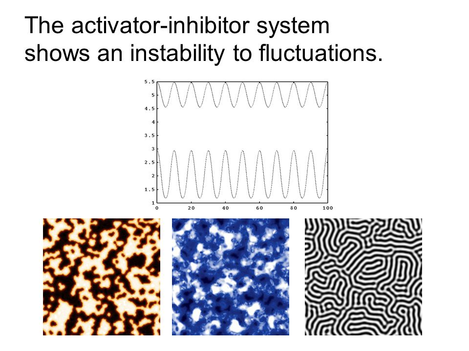The activator-inhibitor system shows an instability to fluctuations.