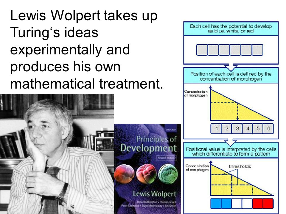 Lewis Wolpert takes up Turing's ideas experimentally and produces his own mathematical treatment.