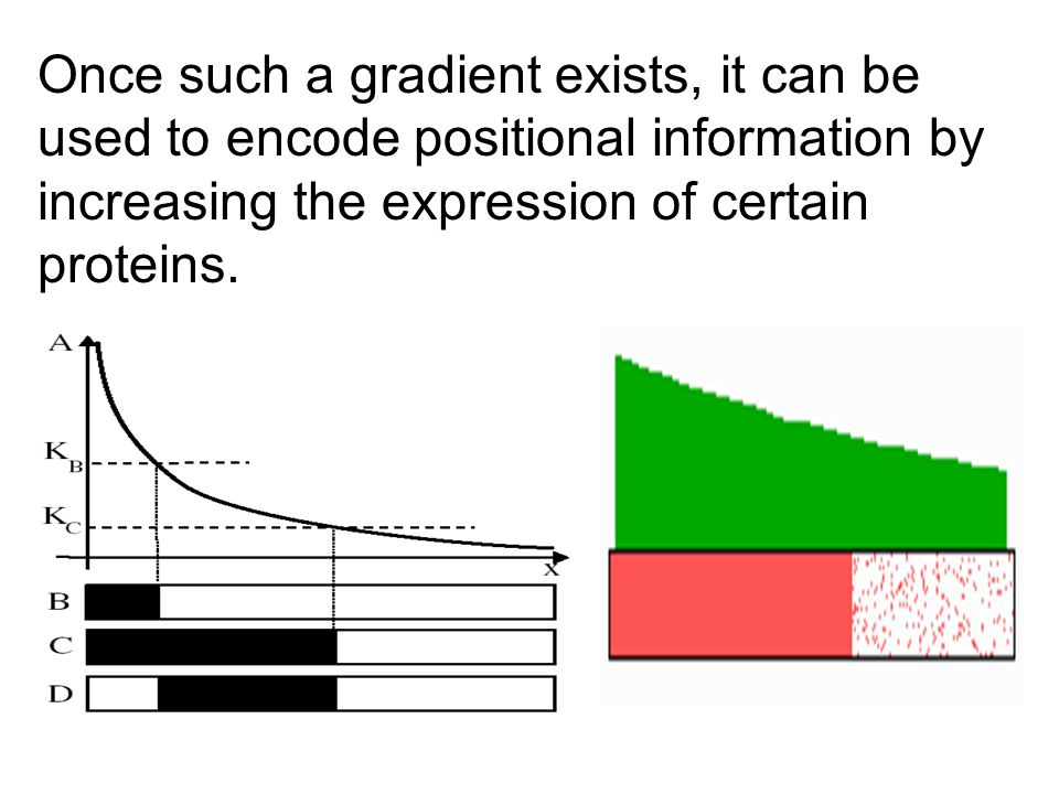 Once such a gradient exists, it can be used to encode positional information by increasing the expression of certain proteins.