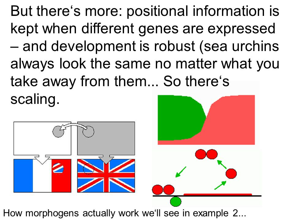 How morphogens actually work we'll see in example 2...