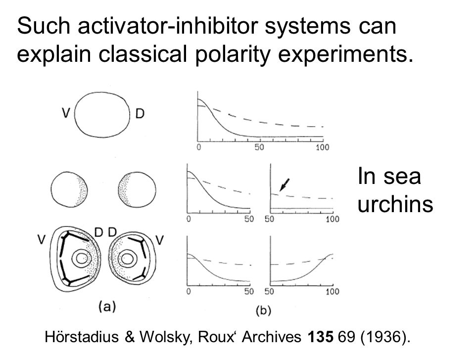 Hörstadius & Wolsky, Roux' Archives 135 69 (1936). Such activator-inhibitor systems can explain classical polarity experiments. In sea urchins