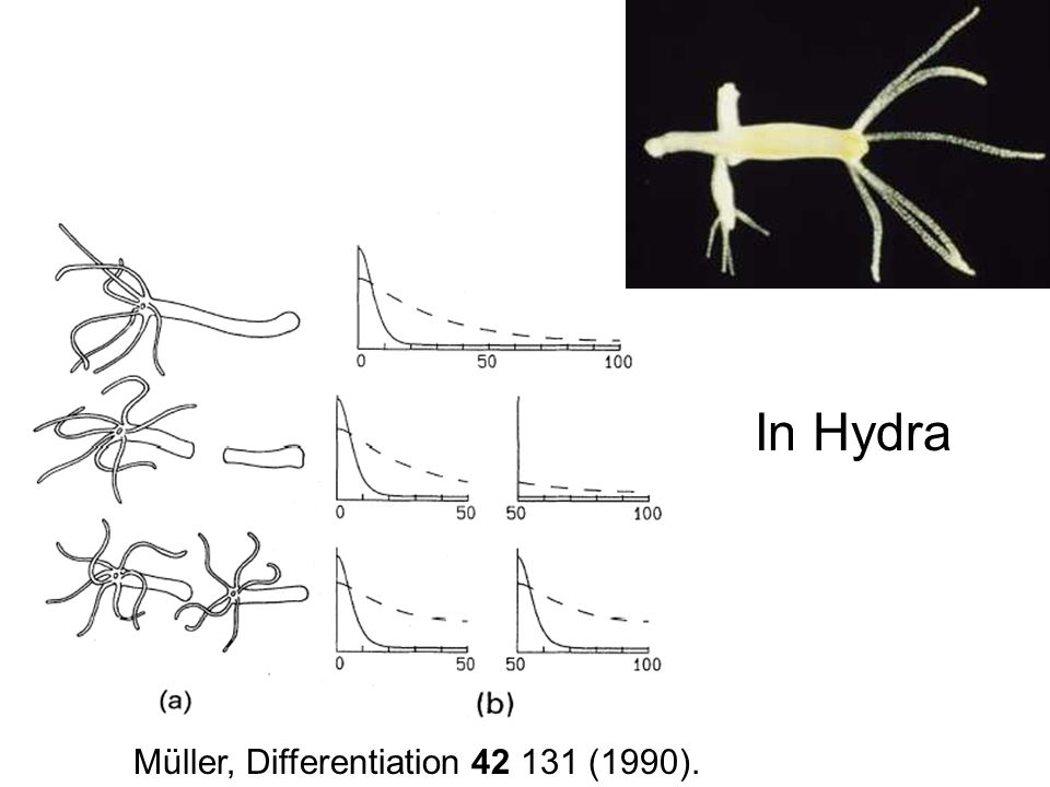 Müller, Differentiation 42 131 (1990). In Hydra