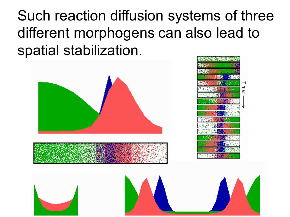 Such reaction diffusion systems of three different morphogens can also lead to spatial stabilization.