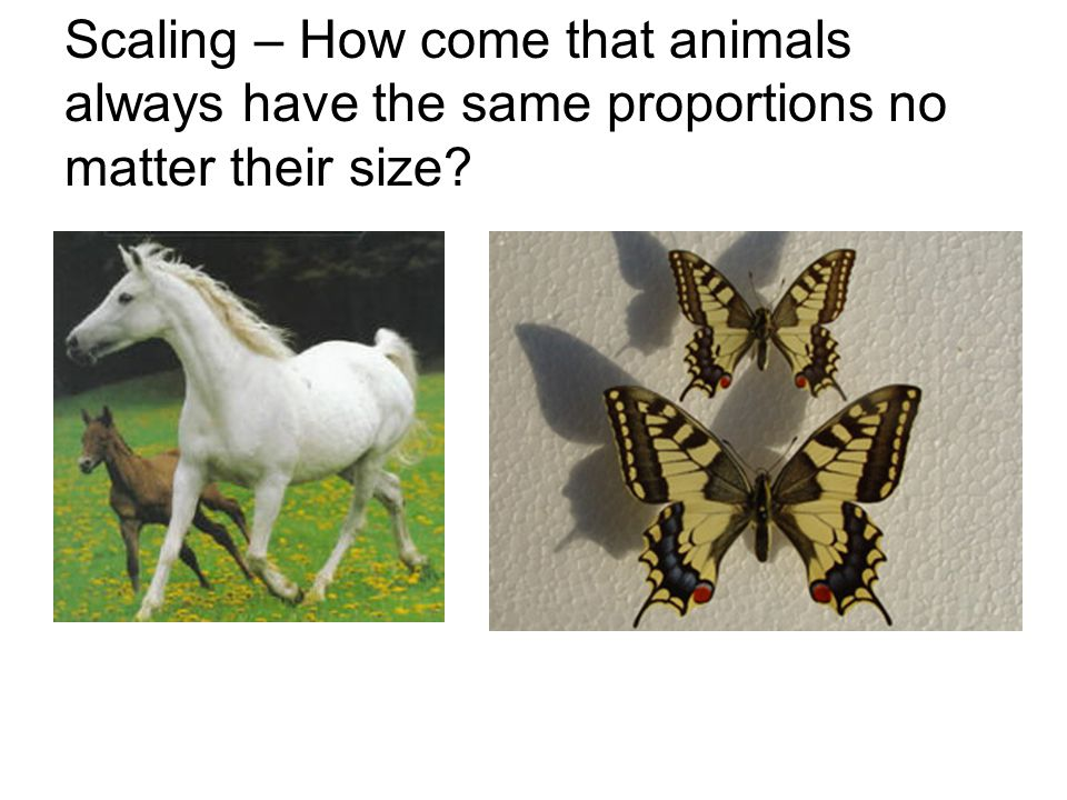 Scaling – How come that animals always have the same proportions no matter their size?