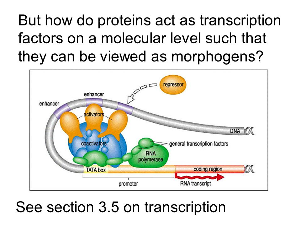 But how do proteins act as transcription factors on a molecular level such that they can be viewed as morphogens.