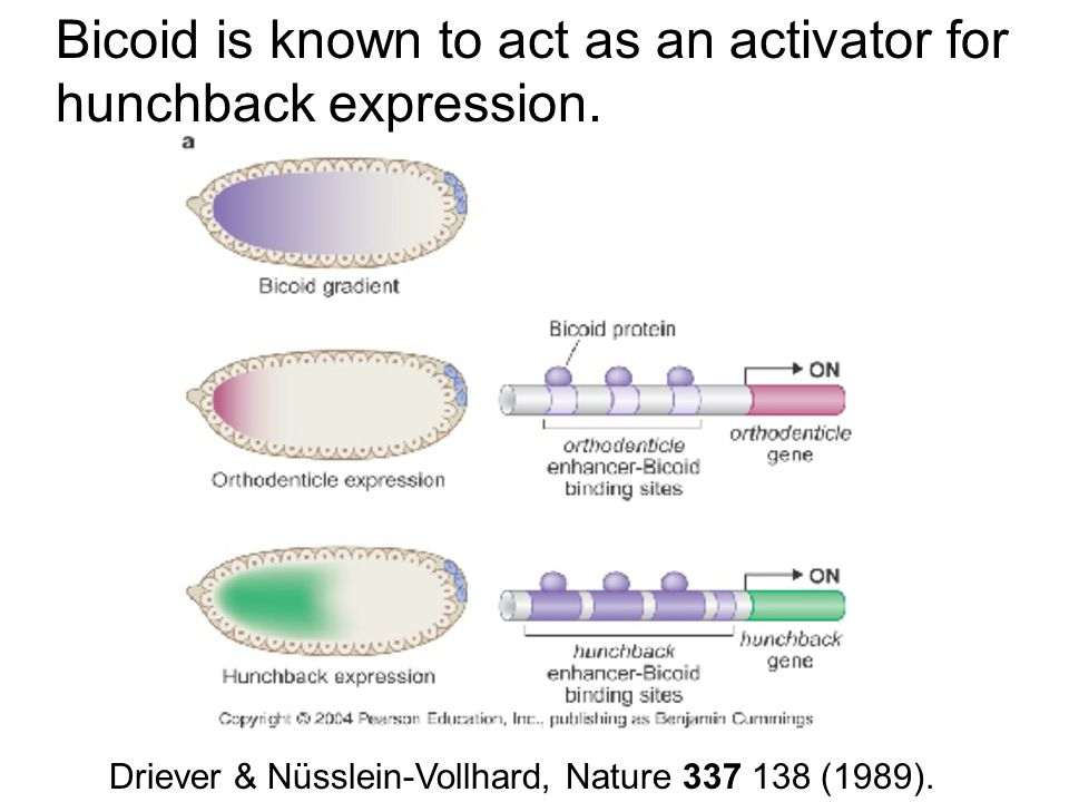 Bicoid is known to act as an activator for hunchback expression.
