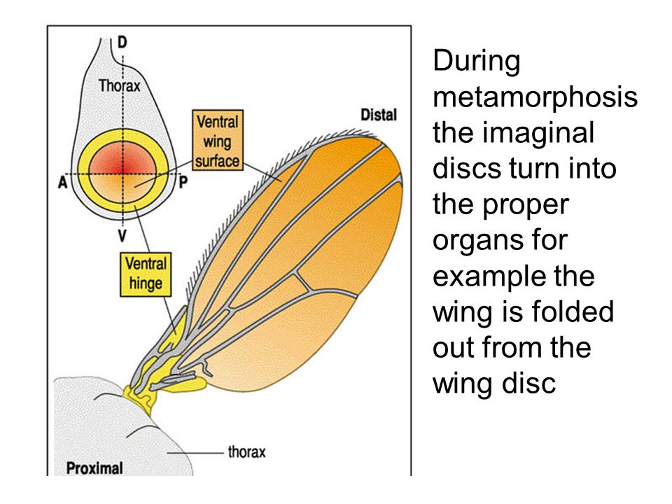 During metamorphosis the imaginal discs turn into the proper organs for example the wing is folded out from the wing disc