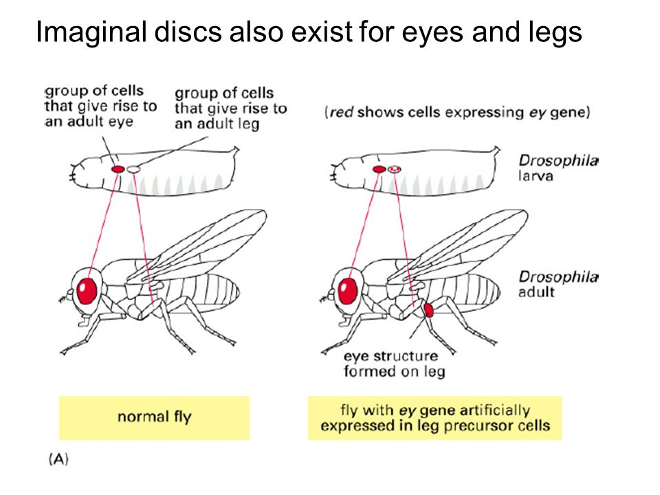Imaginal discs also exist for eyes and legs