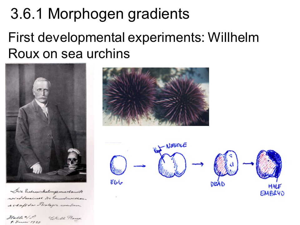 First developmental experiments: Willhelm Roux on sea urchins 3.6.1 Morphogen gradients