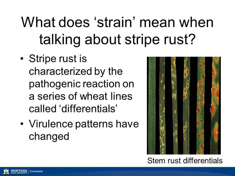 What does 'strain' mean when talking about stripe rust.