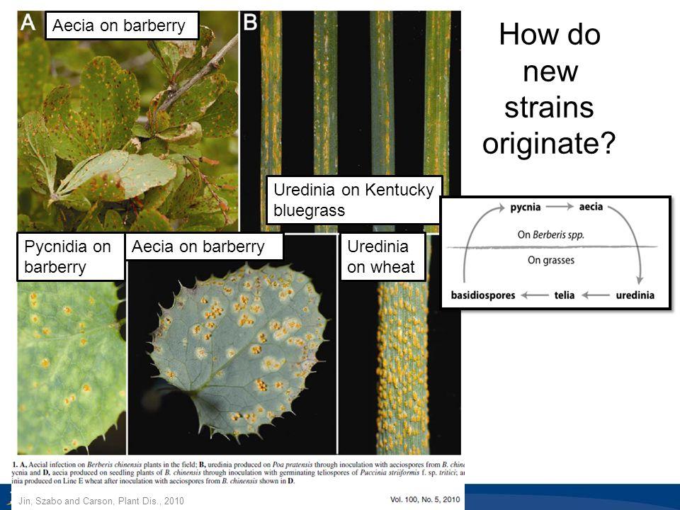 How do new strains originate? Aecia on barberry Uredinia on Kentucky bluegrass Pycnidia on barberry Aecia on barberryUredinia on wheat Jin, Szabo and
