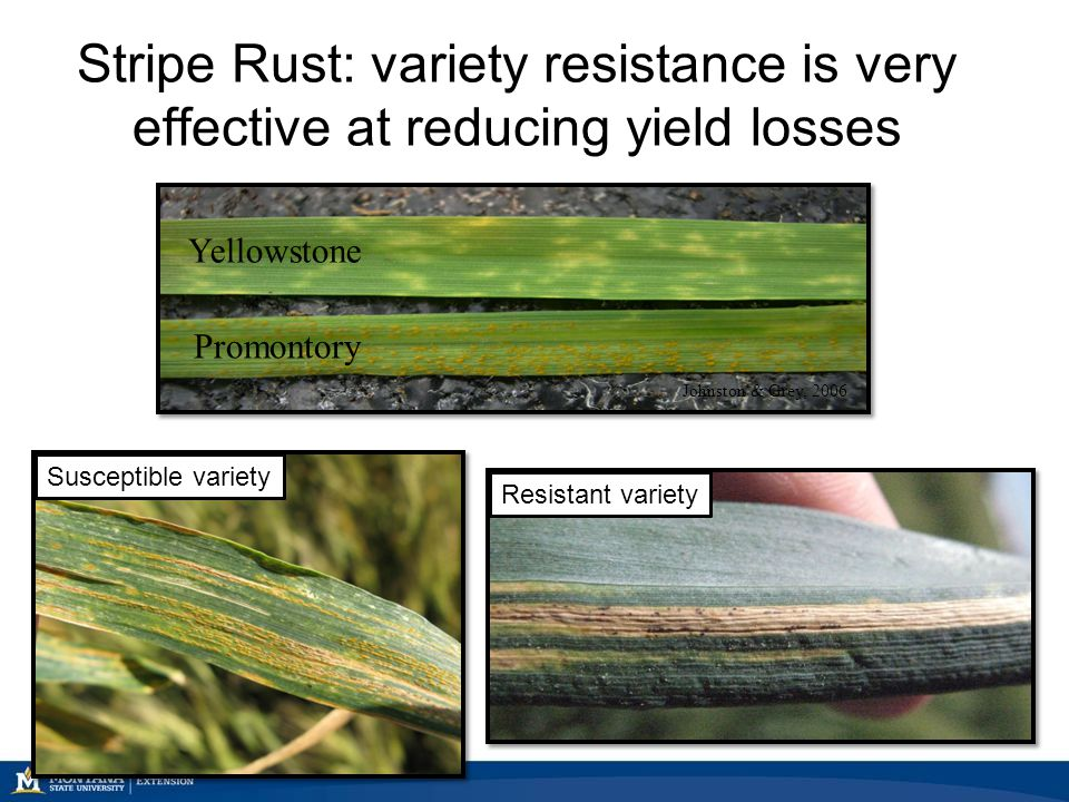 Stripe Rust: variety resistance is very effective at reducing yield losses Yellowstone Promontory Johnston & Grey, 2006 Susceptible varietyResistant v