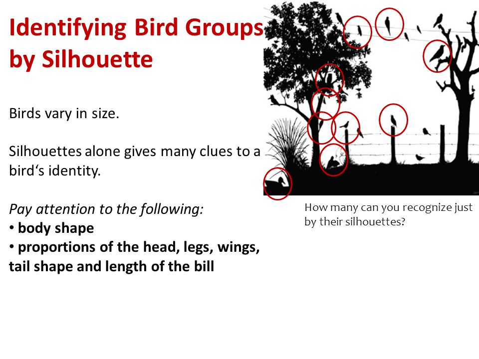 Identifying Bird Groups by Silhouette Birds vary in size.