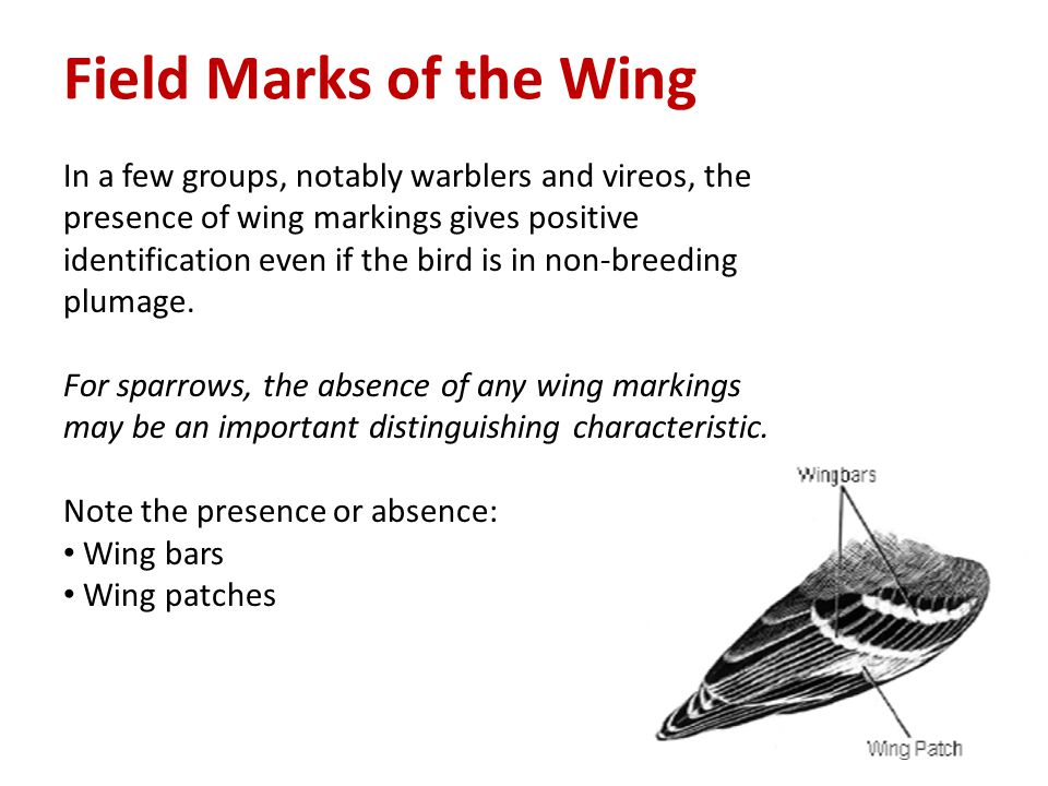 Field Marks of the Wing In a few groups, notably warblers and vireos, the presence of wing markings gives positive identification even if the bird is in non-breeding plumage.