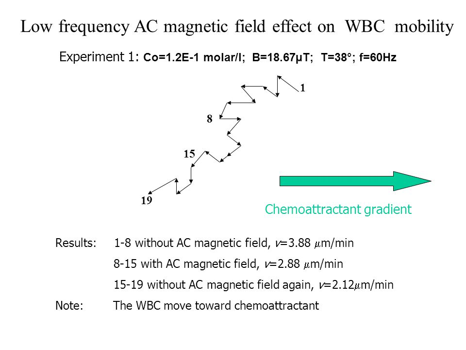 Low frequency AC magnetic field effect on WBC mobility Experiment 1: Co=1.2E-1 molar/l; B=18.67µT; T=38°; f=60Hz Results: 1-8 without AC magnetic field, v=3.88  m/min 8-15 with AC magnetic field, v=2.88  m/min 15-19 without AC magnetic field again, v=2.12  m/min Note: The WBC move toward chemoattractant Chemoattractant gradient 1 8 15 19