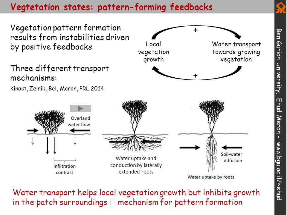 Vegtetation states: pattern-forming feedbacks Ben Gurion University, Ehud Meron - www.bgu.ac.il/~ehud Water transport helps local vegetation growth bu