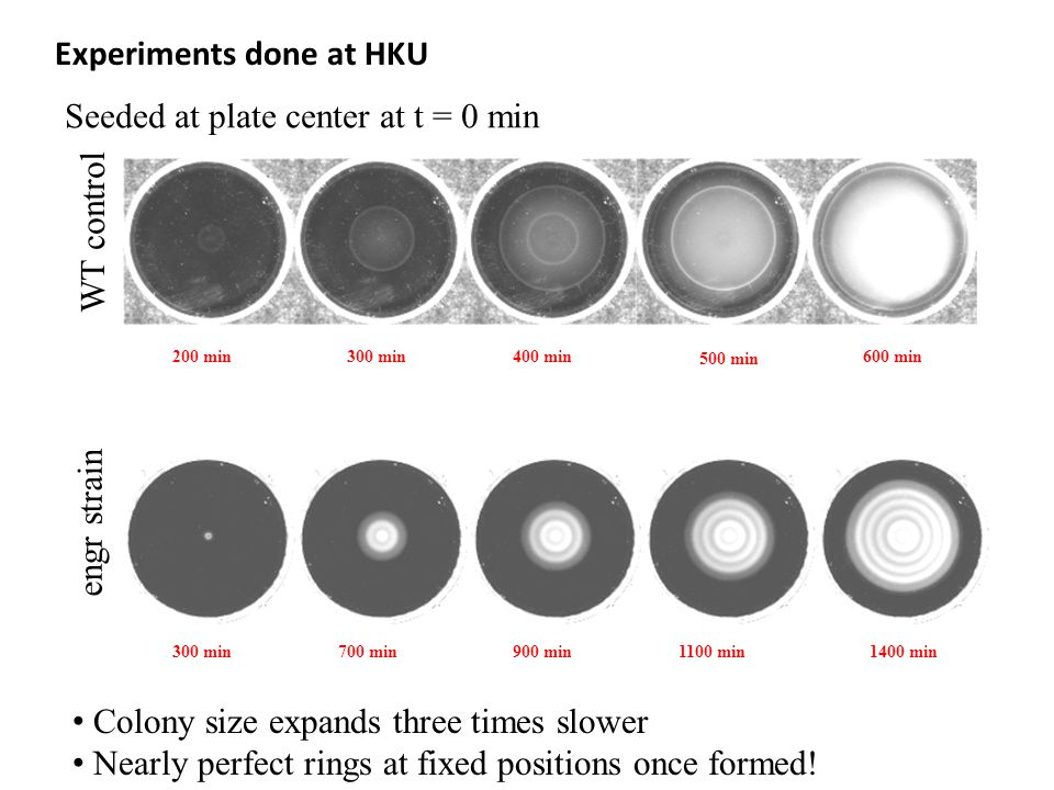 200 min300 min400 min 500 min 600 min WT control Experiments done at HKU Seeded at plate center at t = 0 min 300 min700 min900 min1400 min1100 min engr strain Colony size expands three times slower Nearly perfect rings at fixed positions once formed!