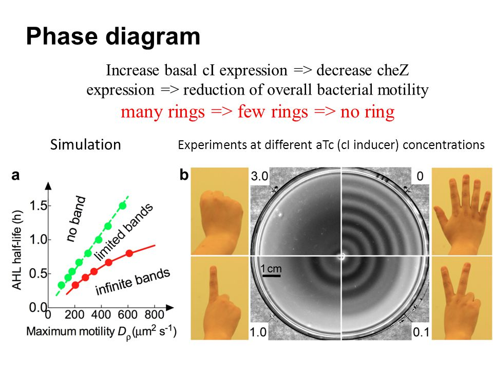 Phase diagram Simulation Experiments at different aTc (cI inducer) concentrations Increase basal cI expression => decrease cheZ expression => reduction of overall bacterial motility many rings => few rings => no ring