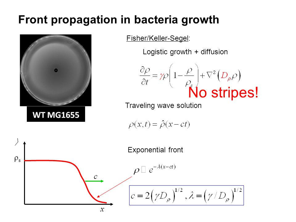 Front propagation in bacteria growth Fisher/Keller-Segel: Logistic growth + diffusion  x ρsρs c Traveling wave solution Exponential front No stripes!