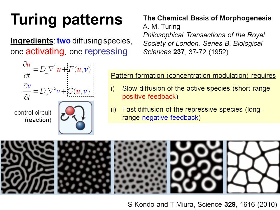 Turing patterns The Chemical Basis of Morphogenesis A.