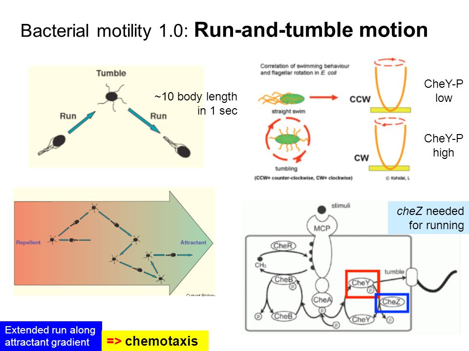 Bacterial motility 1.0: Run-and-tumble motion ~10 body length in 1 sec cheZ needed for running Extended run along attractant gradient => chemotaxis CheY-P low CheY-P high
