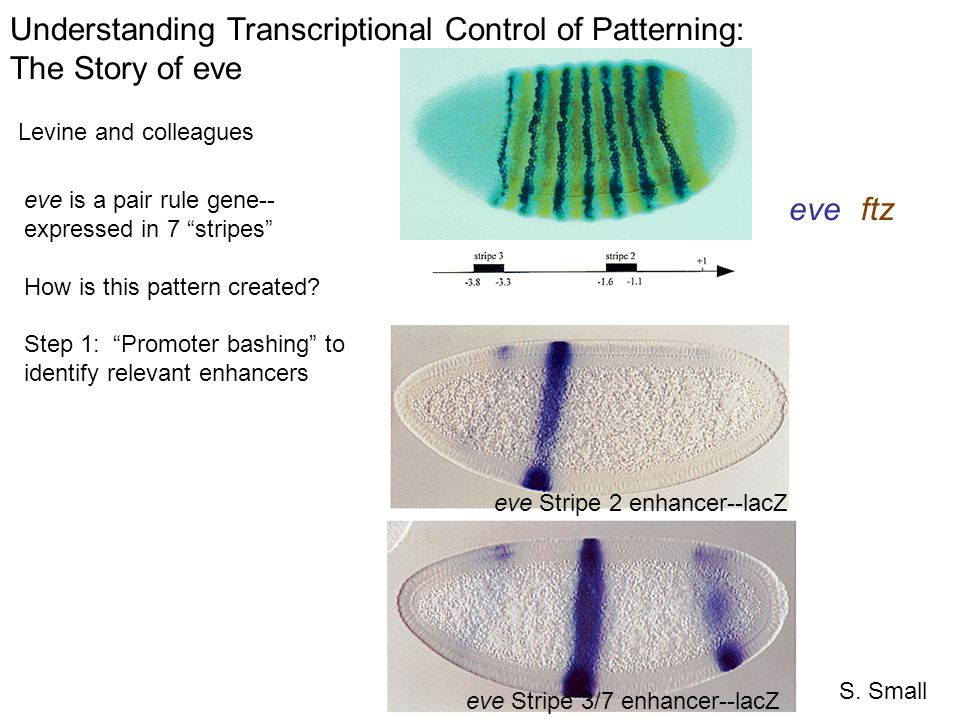 S. Small eve Stripe 2 enhancer--lacZ eve Stripe 3/7 enhancer--lacZ Understanding Transcriptional Control of Patterning: The Story of eve Levine and co