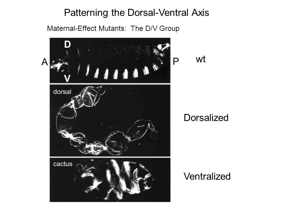Patterning the Dorsal-Ventral Axis wt V D A P Dorsalized Ventralized Maternal-Effect Mutants: The D/V Group