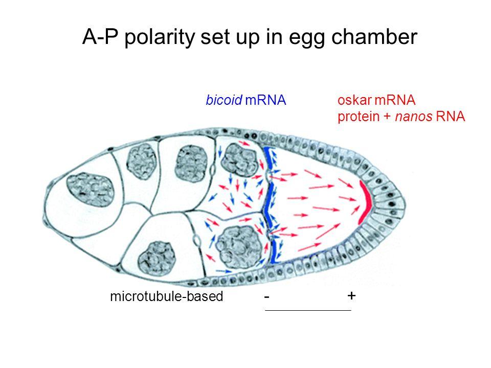 A-P polarity set up in egg chamber bicoid mRNA oskar mRNA protein + nanos RNA microtubule-based - +