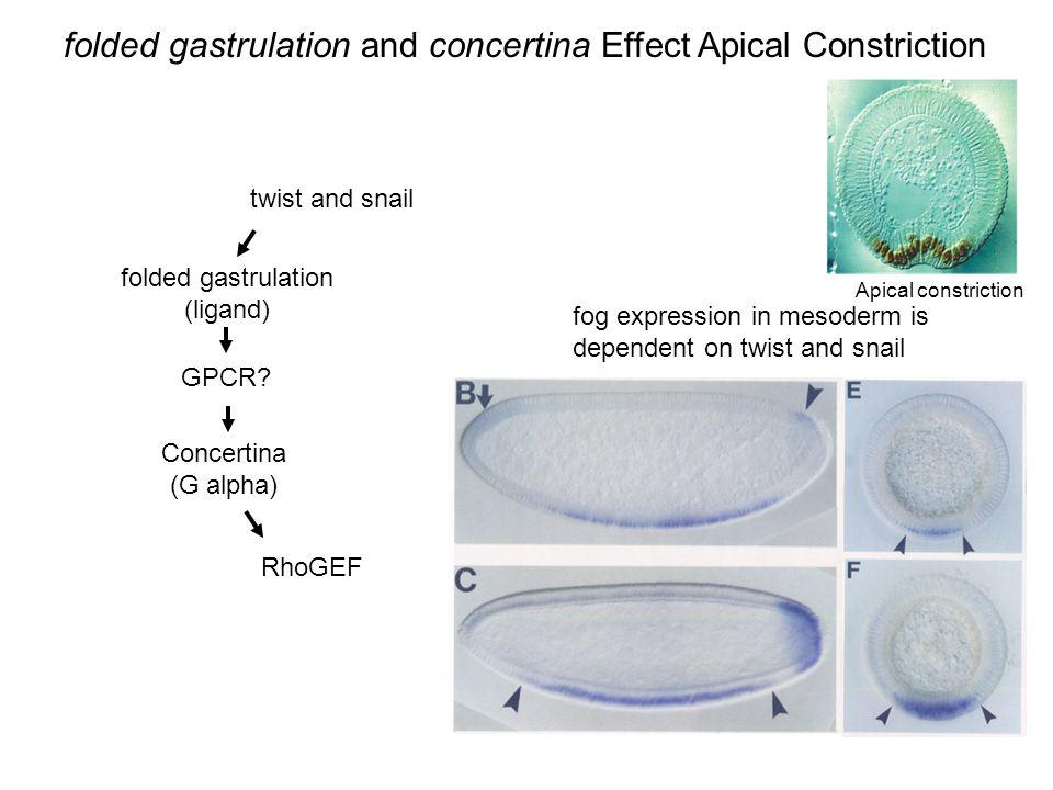 twist and snail folded gastrulation (ligand) Concertina (G alpha) GPCR? RhoGEF fog expression in mesoderm is dependent on twist and snail folded gastr
