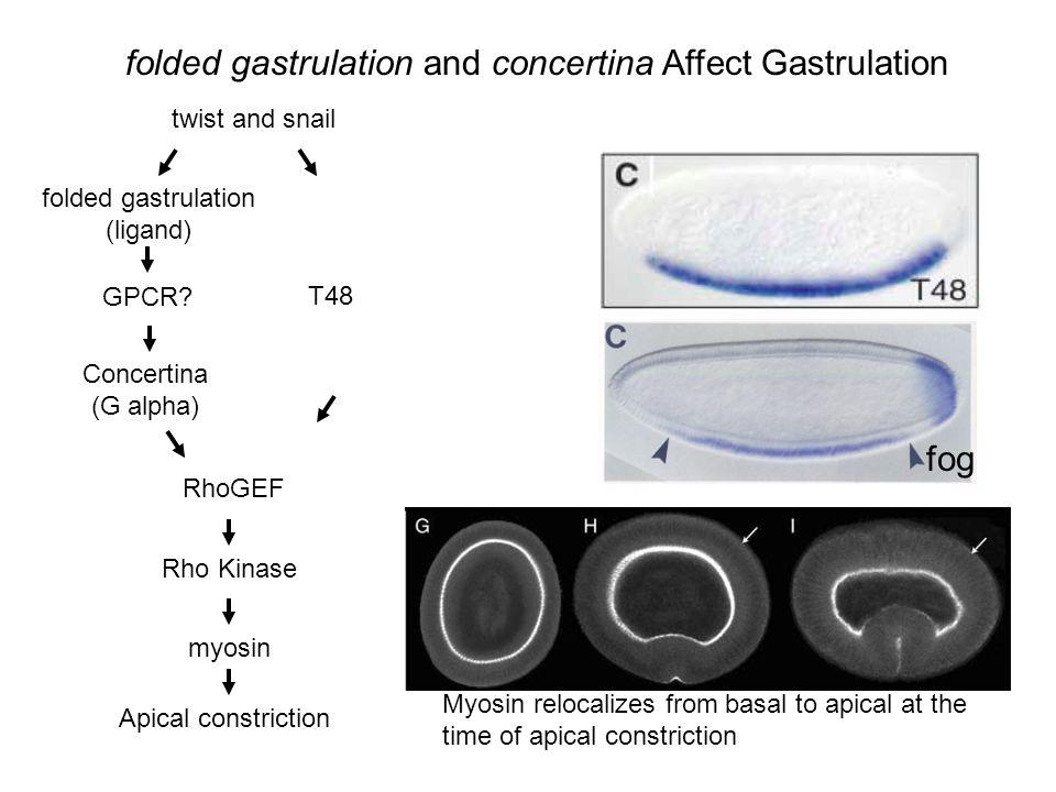 twist and snail folded gastrulation (ligand) Concertina (G alpha) GPCR? RhoGEF folded gastrulation and concertina Affect Gastrulation T48 fog Rho Kina
