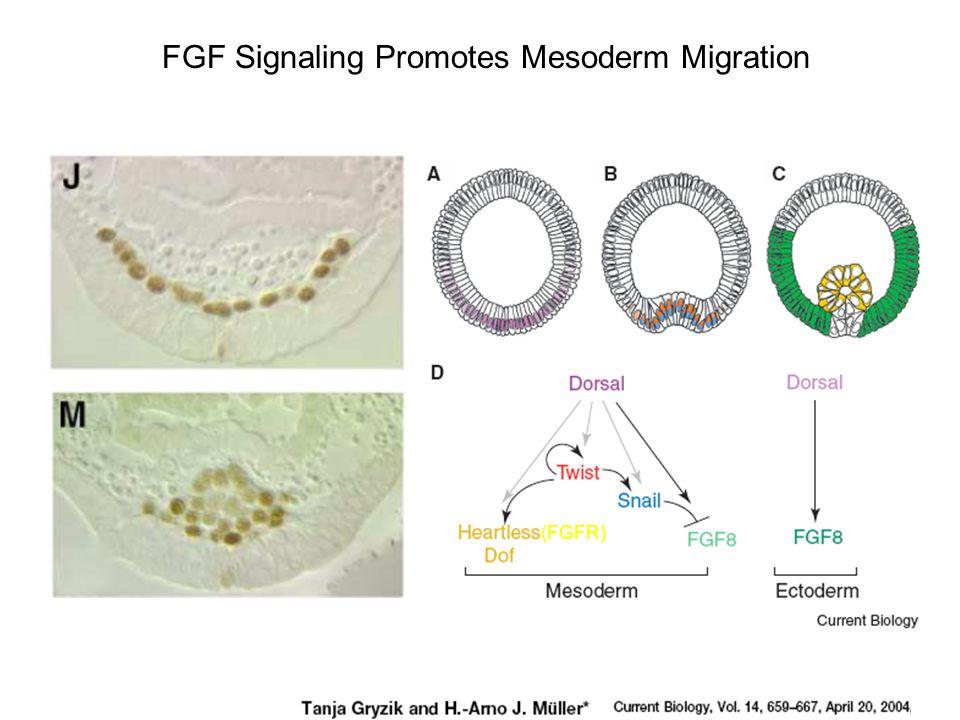FGF Signaling Promotes Mesoderm Migration (FGFR)