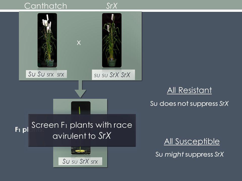Canthatch Su Su srx srx Su might suppress SrX Su does not suppress SrX All Resistant All Susceptible SrX x su su SrX SrX Su su SrX srx F 1 plants: Screen F 1 plants with race avirulent to SrX